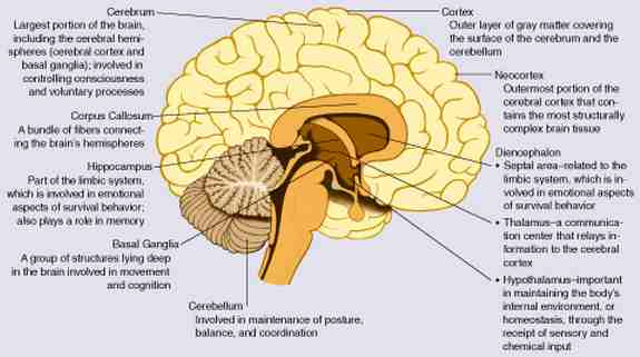 fetal alcohol syndrome brain chart
