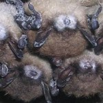 White Nose Syndrome - Symptoms, Treatment, Prognosis